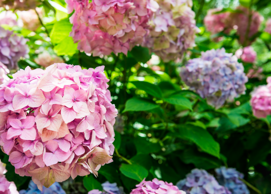 Helpful Hydrangea Pruning Tips for Homeowners in Massachusetts