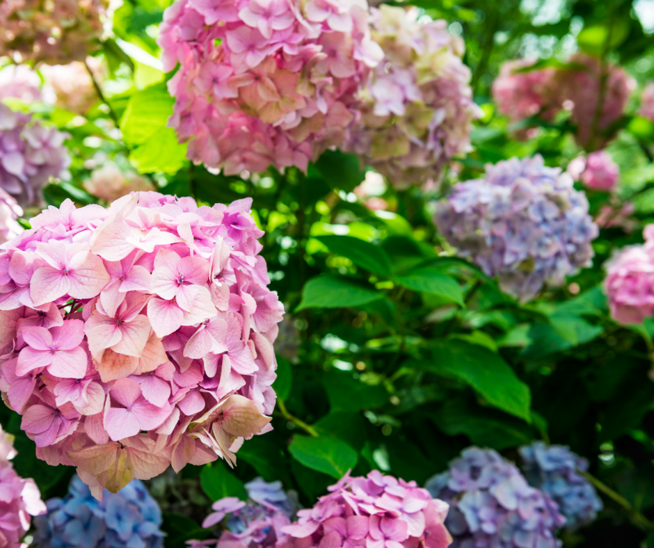 hydrangea pruning tips for Massachusetts homeowners